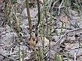Equisetum pratense 5752.jpg