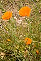 Eschscholzia californica near Ella Nore - geograph.org.uk - 1368094.jpg