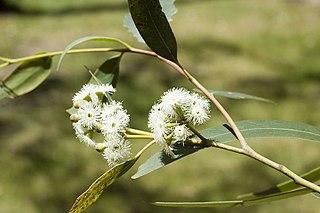 <i>Eucalyptus consideniana</i> Species of eucalyptus