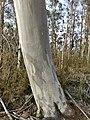 Eucalyptus pauciflora trunk.jpg