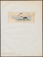 Eudyptes undina - 1845-1863 - Print - Iconographia Zoologica - Special Collections University of Amsterdam - UBA01 IZ17800255.tif