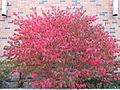Euonymus alatus (5108089062).jpg