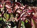 Euonymus grandiflorus-Jardin des plantes 05.JPG