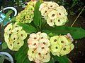 Euphorbia Flower show 10.JPG
