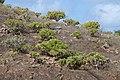 Euphorbia balsamifera - Lanzarote - 01.JPG