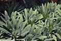 Euphorbia characias wulfenii Humpty Dumpty 1zz.jpg