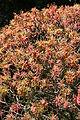 Euphorbia dendroides (habitus).jpg