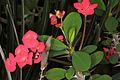 Euphorbia milii pm 1.JPG