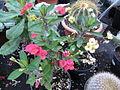 Euphorbia millii (6324075392).jpg