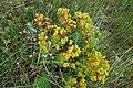 Euphorbia polychroma, Euphorbiaceae 02.jpg