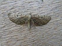 Eupithecia intricata FvL.jpg