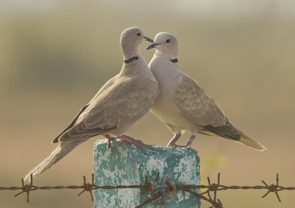 Eurasian Collared Dove at Kutch
