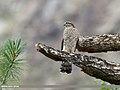 Eurasian Sparrowhawk (Accipiter nisus) (29465688861).jpg