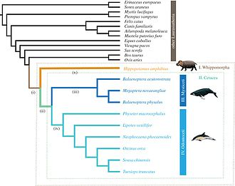Hippopotamus - Evolutionary relationships among hippo and Cetacea (whales, dolphins).