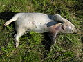 Example of a pig carcass in the bloat stage of decomposition.jpg