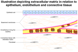 Extracellular Matrix Wikipedia
