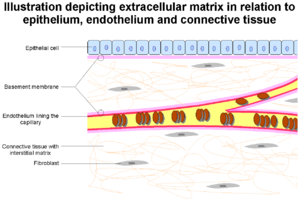 Basement membrane - The epithelium and endobasement membrane in relation to epithelium and endothelium. Also seen are other extracellular matrix components