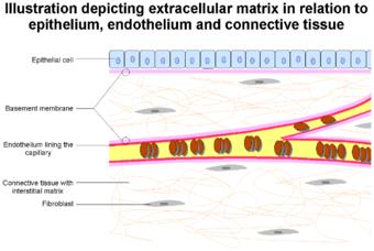 Extracellular Matrix.png