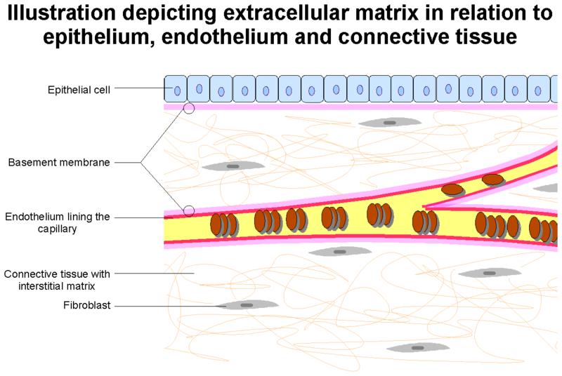 Matriks Ekstraseluler - Pengertian, Struktur Dan Fungsinya Lengkap