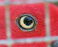 Eye of female Eclectus Parrot, seen through wire mesh.jpg