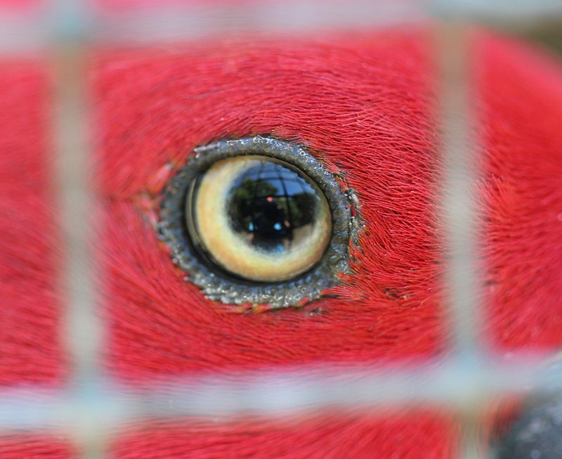 Eye of female Eclectus Parrot, seen through wire mesh.jpg