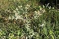 Fältmartorn (Eryngium campestre)-3005 - Flickr - Ragnhild & Neil Crawford.jpg