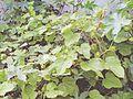FM-Passiflora.foetida-Habit.jpg