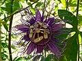 Fale - Giardini Botanici Hanbury in Ventimiglia - 492.jpg