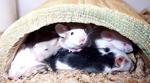 Fancy mouse - Mice enjoy group housing and require nesting areas such as this wooden hide.