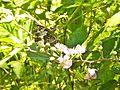 Farfalla (Crespino) 4.jpg
