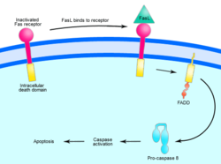 Overview of Fas signalling in apoptosis, an example of direct signal transduction