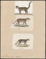 Felis tigrina - 1700-1880 - Print - Iconographia Zoologica - Special Collections University of Amsterdam - UBA01 IZ22100254.tif