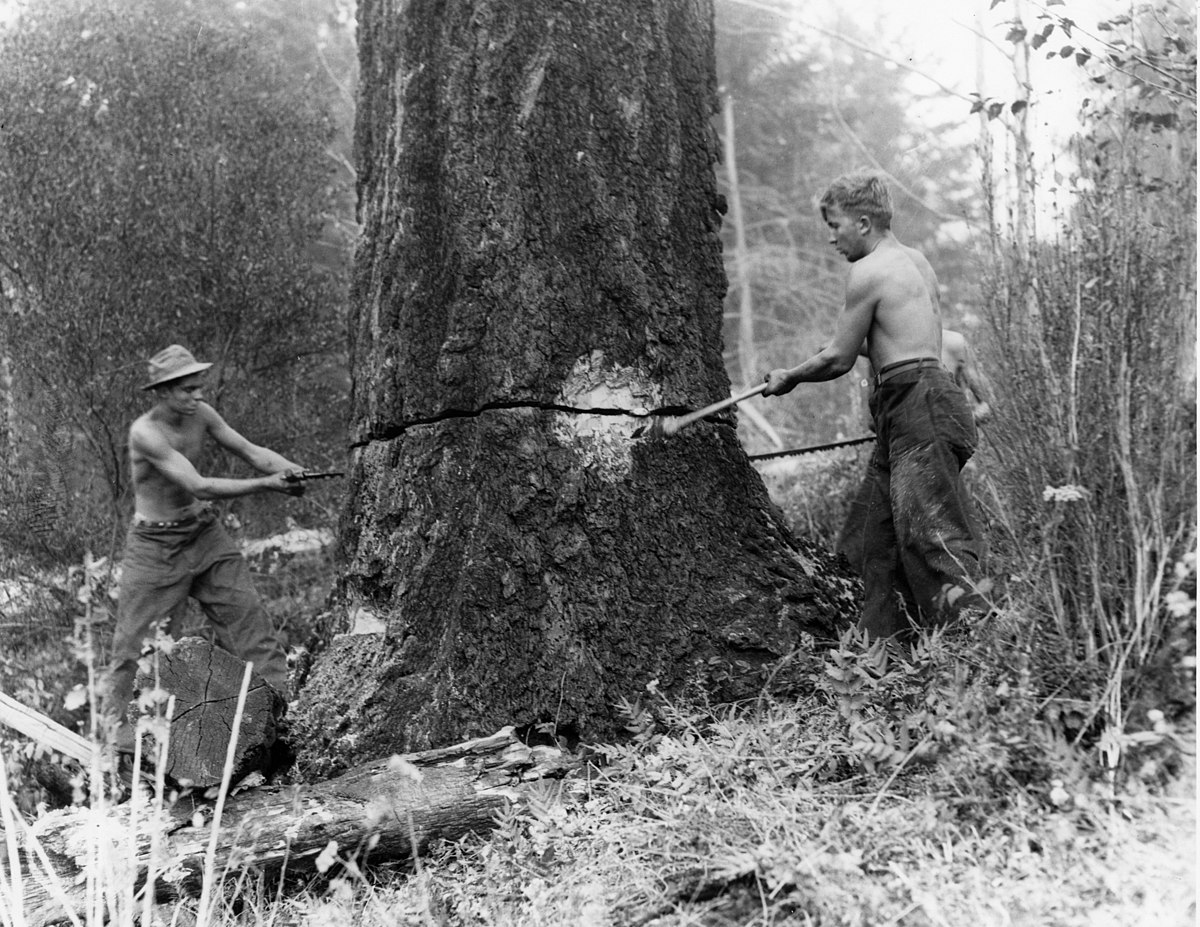 Felling snags on fire line around the Coquille CCC camp, Siskiyou National Forest (3226072285).jpg