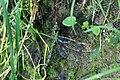 Female Aeshna cyanea laying eggs 2.JPG