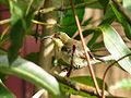 Female Loten's Sunbird 2.jpg
