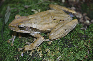 Common tree frog - Common tree frog (female)