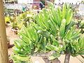 Fenestraria rhopalophylla-2-yercaud-salem-India.JPG