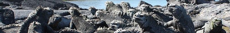 Marine Iguanas at Fernandina, Galapagos Islands