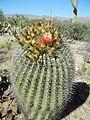 Ferocactus wislizeni (6540998761).jpg