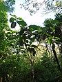 Ficus dammaropsis Diels (AM AK289883-1).jpg