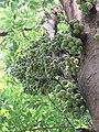 Ficus racemosa fruits at Makutta (11).jpg