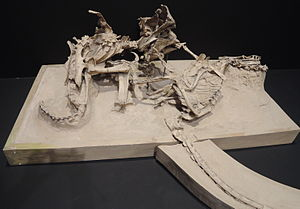 Protoceratops - Skeletons of P. andrewsi and Velociraptor mongoliensis in combat
