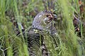 File-Female ruffed grouse;-Neal Herbert;-June 2014;-Catalog 19404d;-Original 1561 (f5db3928-2ef0-42cc-8326-bfe51aacf171).jpg