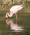 Flamingo (3314976342).jpg
