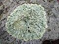 Flavoparmelia baltimorensis (Gyelnik & Fóriss) Hale 728042.jpg