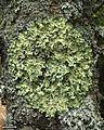 Flavoparmelia caperata - Flickr - pellaea (8).jpg