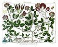 Flemingia procumbens Rungiah.jpg