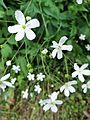 Fleur en Vanoise (15).JPG