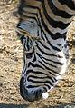 Flickr - law keven - I've got stripes....jpg