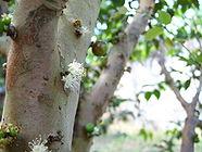 Flor de jabuticabeira2.jpg